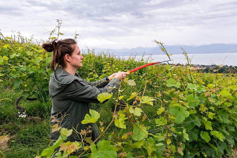 Soigner la vigne