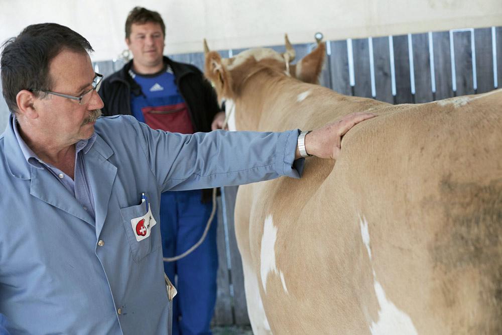 Achat de bétail de boucherie