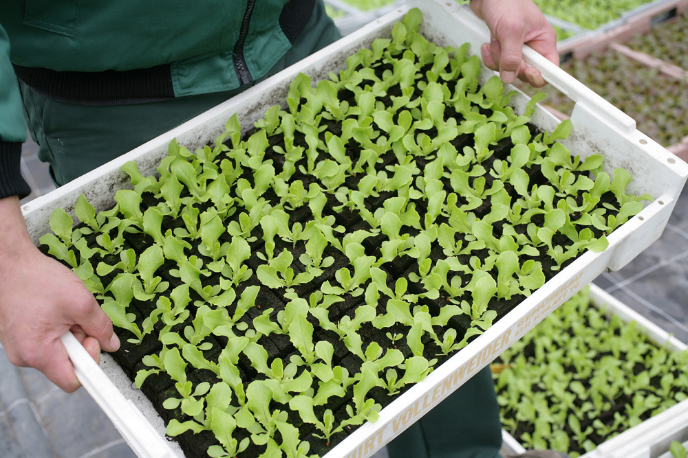 Culture de jeunes plants
