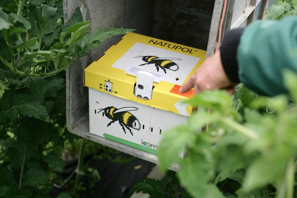 Utilisation d'insectes auxiliaires