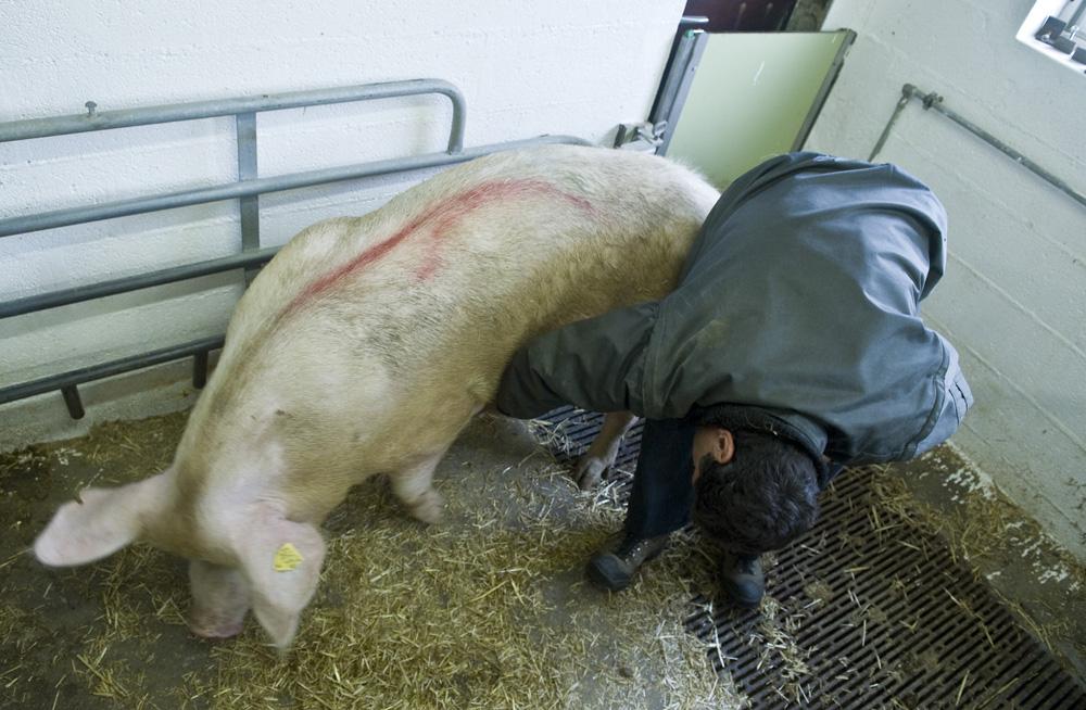 Soigner le bétail